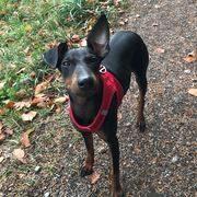 Pet-Sitter-promeneur-chien-garde-animaux-pension-chien-Daisy-maelle-Blonay-Vevey-Riviéra-OhDog