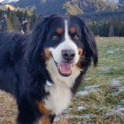 ohdog portrait chien bouvier bernois